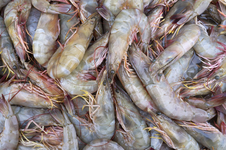 Shrimp Is Big. Now It's Sick. And Really Expensive | Bloomberg | CALS in the News | Scoop.it