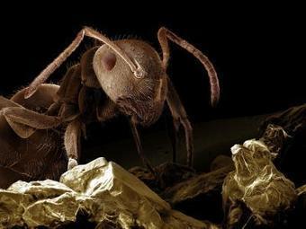 Las hormigas usan feromonas para coordinarse | Bichos en Clase | Scoop.it