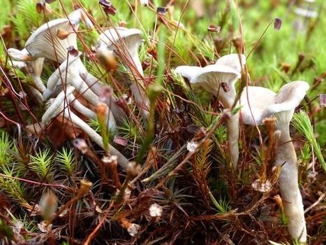 Photo d'Hygrophoraceae : Chanterelle ombonée - Clitocybe omboné - Fausse chanterelle des bruyères - Cantharellula umbonata - Humpback - Grayling - Umboné | Faaxaal Forum Photos gratuite Faune et Flore | Scoop.it