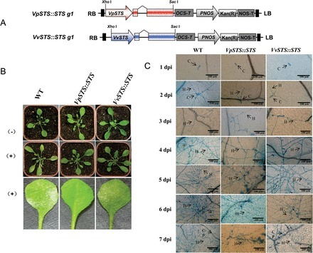 A stilbene synthase allele from a Chinese wild grapevine confers resistance to powdery mildew by recruiting salicylic acid signalling for efficient defence | Plant-Microbe Interaction | Scoop.it