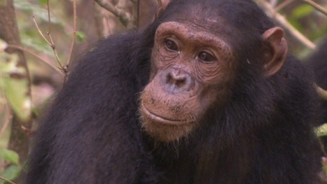 Why Jane Goodall's famous chimps still surprise us | Vloasis sci-tech | Scoop.it