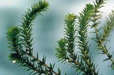 Benefits and Advantages of Hydrilla - Know Importance of Hydrilla | Beauty Care | Scoop.it