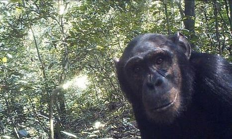 Huge chimpanzee population thriving in remote Congo forest | The living world | Scoop.it