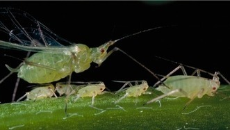 Aphid identification in desert-grown alfalfa | Western Farm Press | CALS in the News | Scoop.it