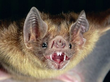 Unsolved mystery: Six people in Peru survive deadly rabies virus infection contracted through vampire bat bites | Amazing Science | Scoop.it