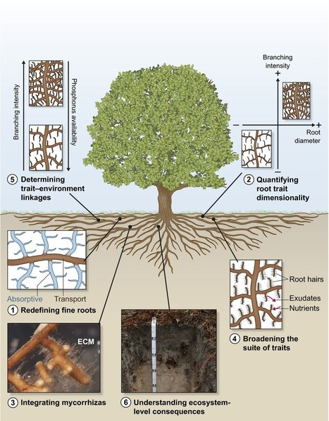 Below-ground frontiers in trait-based plant ecology - Laliberté - 2016 - New Phytologist  | Transport in plants and fungi | Scoop.it