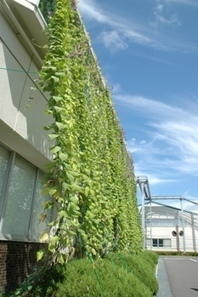 Kyocera Buildings Cool Off with Edible Green Curtains | Sustainable Futures | Scoop.it