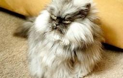 Top 15 des chats stars de 2012, une année (encore) catophile | Topito | Drôles de chats !!!!! | Scoop.it