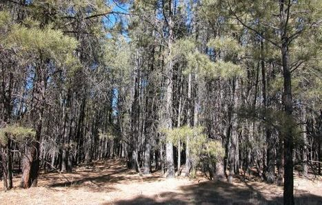 Thinning Is In: UA Helps to Tame Wildfires | UANews | CALS in the News | Scoop.it