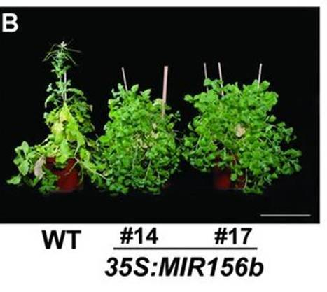 Science x2: Back-to-back papers on miRNAs role in age-dependent vernalization response | Plant Biology Teaching Resources (Higher Education) | Scoop.it