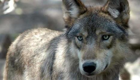 Ours, lions, loups... En détruisant la biodiversité, c'est la civilisation qu'on tue | Hurtigruten Arctique Antarctique | Scoop.it