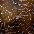 Surprenante soie d'araignée | EntomoNews | Scoop.it