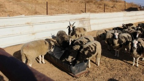 Biblical sheep in Israel for first time in millennia   Jewish Education Around the World   Scoop.it