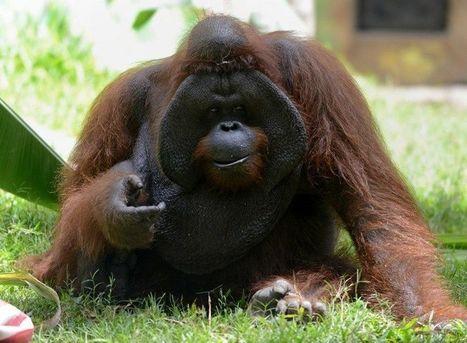 L'orang-outang de Bornéo, au bord de l'extinction | Environnement et développement durable | Scoop.it