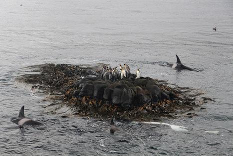 Blog officiel du district de #Crozet - #TAAF #manchot #orque | Arctique et Antarctique | Scoop.it