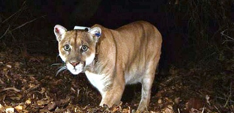 Los Angeles : les pumas au plus près des habitations | Biodiversité | Scoop.it
