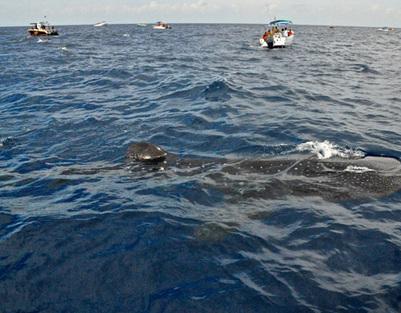 El tiburón de la discordia   EFE   Scoop.it