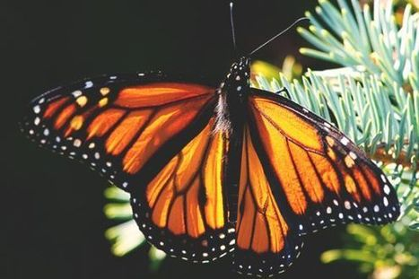 House Democrats Take Monarchs' Side in Losing Battle Against Big Ag   Advocating for Wildlife   Scoop.it