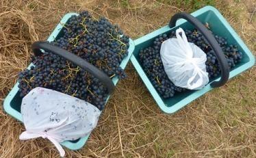 Sélection variétale : de nouveaux clones de malbec pour pimenter ... - Vitisphere.com | Winemak-in | Scoop.it