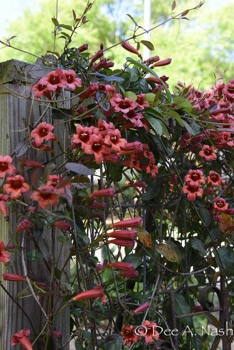 Native shrubs to replace roses - Red Dirt Ramblings® | Cottage Gardening | Scoop.it