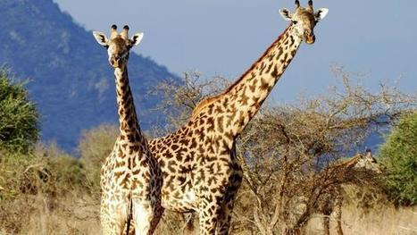 Spot giraffe in the heart of Kenya. Picture: iStock - The Daily Telegraph   TOURISM CONTENT CURATOR   Scoop.it