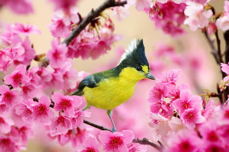 Formosan Yellow Tit and Cherry Blossoms | Great Photographs | Scoop.it