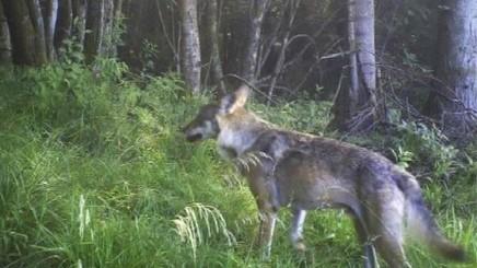 Dans les Vosges, le retour du loup a viré au conflit permanent - Rue89 Strasbourg   Territoires durables   Scoop.it