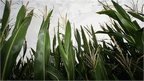 EU acts to counter biofuel harm | European biofuel policy | Scoop.it