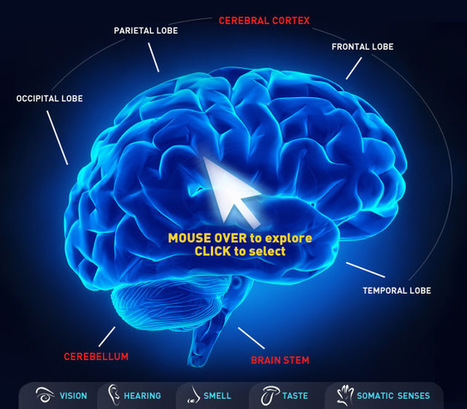 CBC.ca - Interactive: Map of the human brain | Healthy Minds | Scoop.it