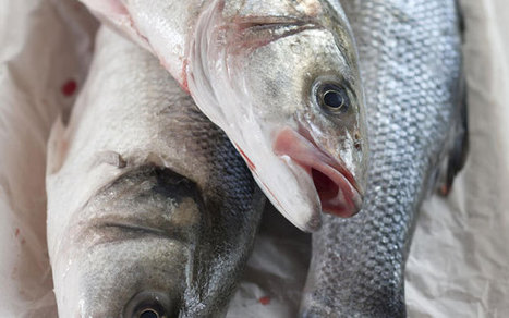 #Seabass #stocks at lowest in two decades - Telegraph | Rescue our Ocean's & it's species from Man's Pollution! | Scoop.it