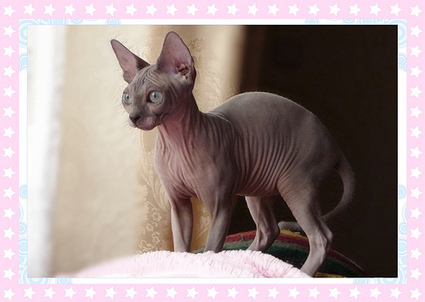The Best Cat Breeds For People With Allergies | Allergy Treatment | Scoop.it