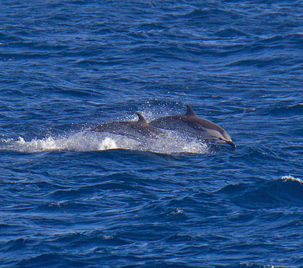 2012 Senseless Slaughter of Dolphins Resumes inTaiji | Dolphins | Scoop.it