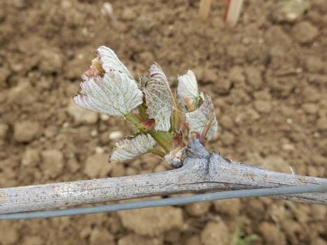 Gel et grêle en Bourgogne : quelles conséquences ? | Winemak-in | Scoop.it