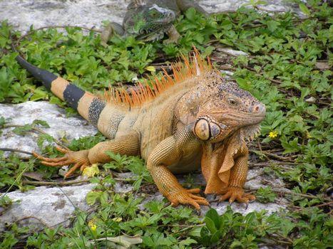 Iguana Pet Care Guides | Iguana Pet Care | Scoop.it