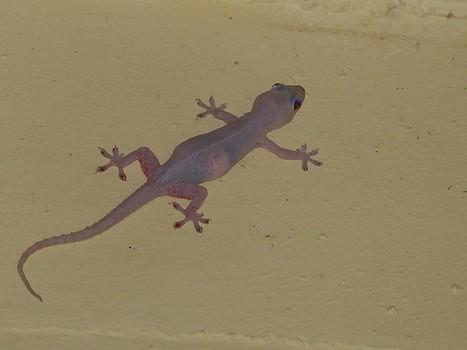 Photo de Gekkonidé : Gecko des maisons - Hémidactyle commun - Hemidactylus frenatus - Common House Gecko - Spiny-tailed House Gecko | Fauna Free Pics - Public Domain - Photos gratuites d'animaux | Scoop.it