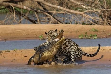 Jaguar Attacks Crocodile In Brazil   Abgefahrene Tiere   Scoop.it