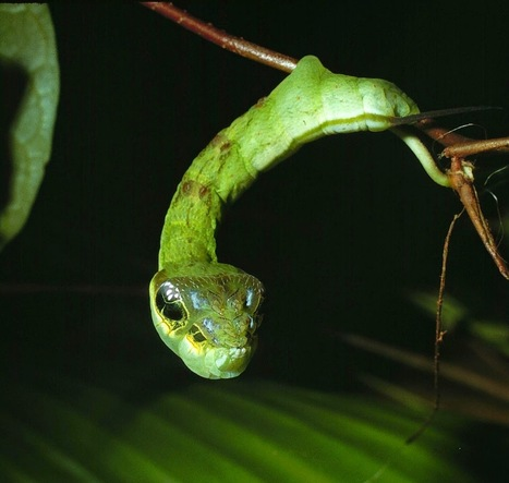 Les chenilles grimées en serpents | EntomoScience | Scoop.it