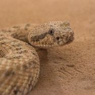 Snakes and Snake-like Robots Show How Sidewinders Conquer Sandy Slopes | Biomimicry | Scoop.it