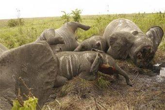 2012: El peor año para elefantes y rinocerontes africanos - Noticias.com | Agua | Scoop.it