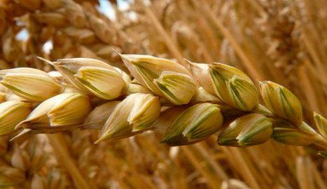 Propiedades de la sémola de trigo | Ingeniería en Molineria | Scoop.it