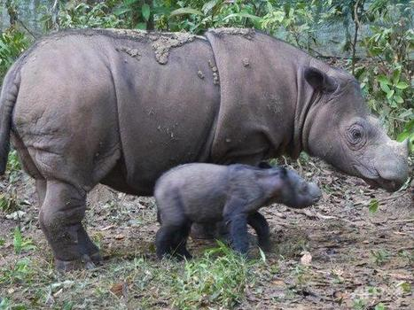 Critically endangered Sumatran rhinos to receive artificial insemination - Channel News Asia | Save our Rhino and all animals...this is what it looks like!!!!! | Scoop.it
