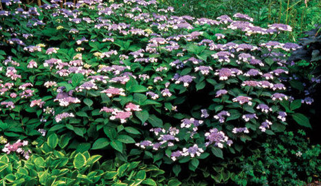 The Smarter Hydrangea - Fine Gardening Article | Natural Soil Nutrients | Scoop.it