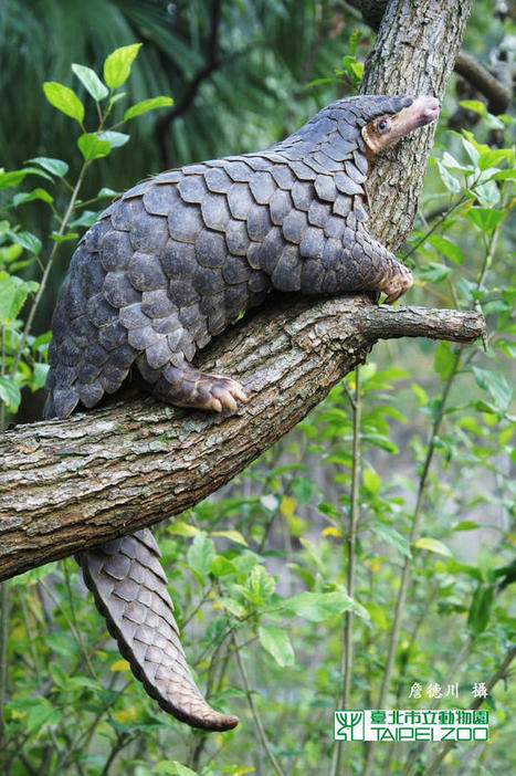 Pangolins are being eaten to extinction - News - Conservation - ZSL | Wildlife and Environmental Conservation | Scoop.it