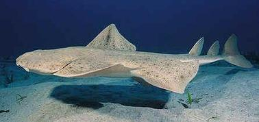FOCUS ESPECE : LE REQUIN-ANGE | Rays' world - Le monde des raies | Scoop.it
