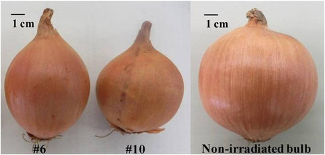 Production and characterization of tearless and non-pungent onion | plant cell genetics | Scoop.it