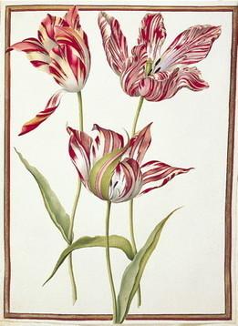 Tulips broken by viruses | Viruses and Bioinformatics from Virology.uvic.ca | Scoop.it