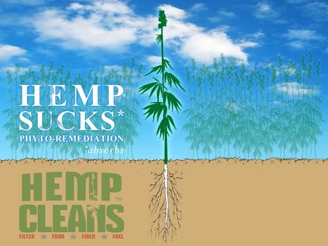 Phytoremediation Research Using Hemp Has Begun | | Ecological Organic Yarn | Scoop.it