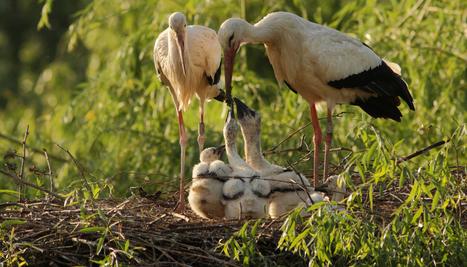 La réintégration réussie des cigognes en Alsace - National Geographic | Revue de Web par ClC | Scoop.it