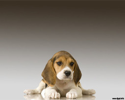 Beagle Powerpoint | Free Powerpoint Templates | Beagle | Scoop.it