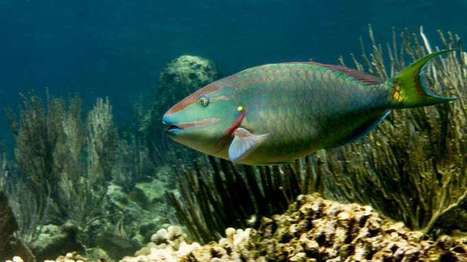 Fishing for the future of coral reefs | Aquaculture Directory | Scoop.it